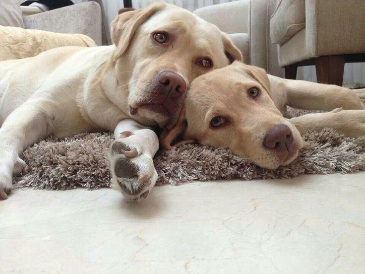 2528 Best Images About Labrador Love On Pinterest Lab