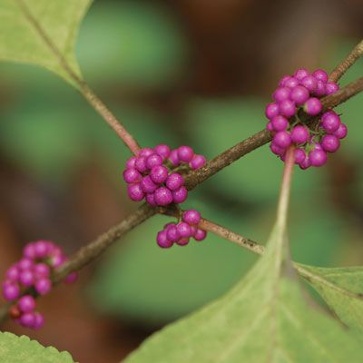 32 best images about native virginia shrubs on pinterest trees and shrubs white flowers and - Planting fruit trees in the fall a garden full of vigor ...