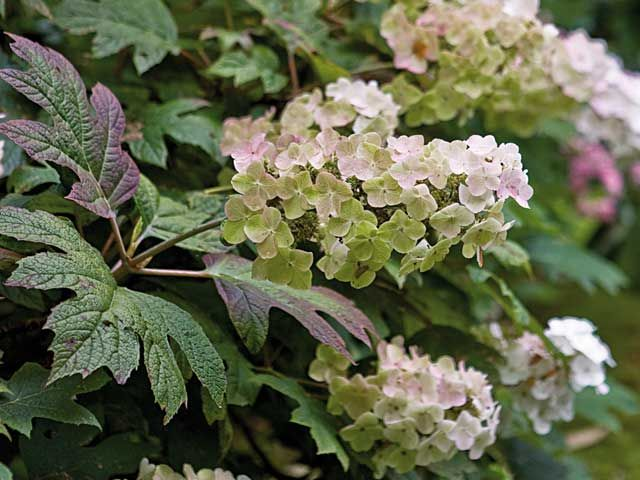 Best 25 hydrangea quercifolia ideas on pinterest for Hortensia arbustif
