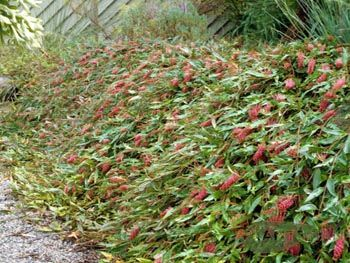Poorinda Royal Mantle (grevillea Royal carpet) A prostrate ground cover to 30cm high and several across with large, flat, variable green leaves, bronze new growth, layering stems and deep red to maroon toothbrush flowers in the warmer months. Good plant for covering a sunny slope. Bird attractant. A few plants in the Protea family can be damaged by phosphorous(P). Exercise caution when applying fertiliser.