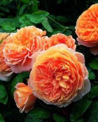 Почвопокровные розы - купить саженцы в Харькове, Киеве, Украине в интернет-магазине LeafLand - Лифленд