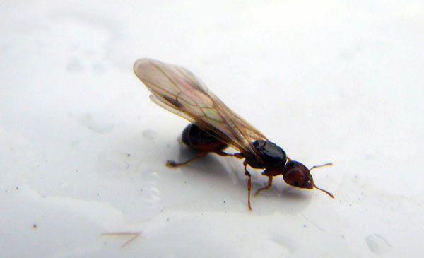 L'astuce naturelle pour se débarrasser des fourmis volantes