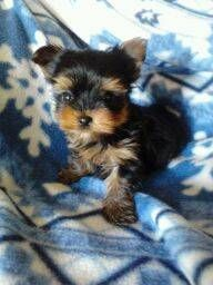 Gorgeous ACA registered**Tiny Tcup TEACUP Yorkshire Terrier Puppies**