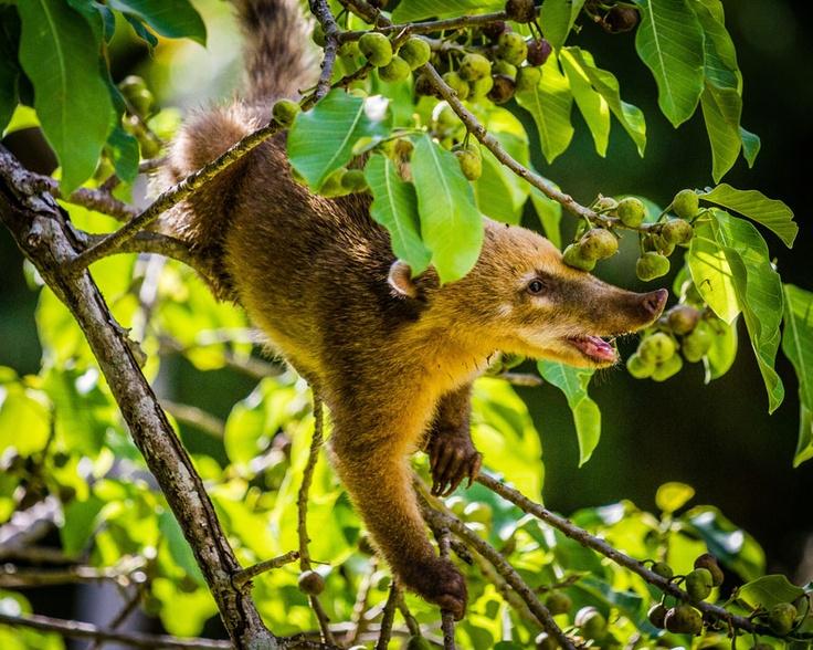 A coati's lunch in Iguazu Falls, Argentina    David Roby of Mawdesley, Lancashire