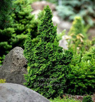 Thuja occidentalis ' IslPrim ' Primo® Dwarf Arborvitae