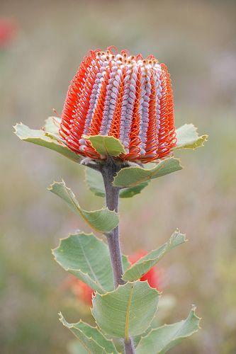 Scarlet Banksia (banksia coccinea), Western Australia猩紅山龍眼(山龍眼紅景天),西澳大利亞