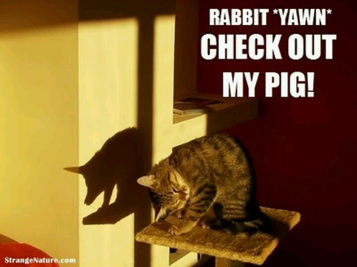 Cat pig lol