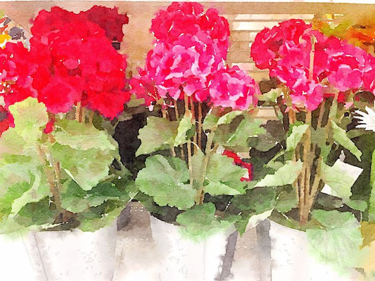 SPRINGTIME  POTTED GERANIUMS by CRussellPhotography on Etsy
