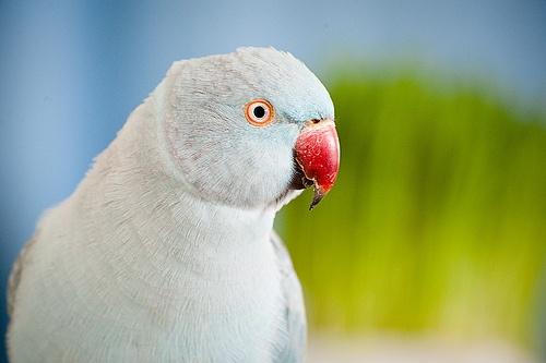 Female Indian Ringneck parakeet