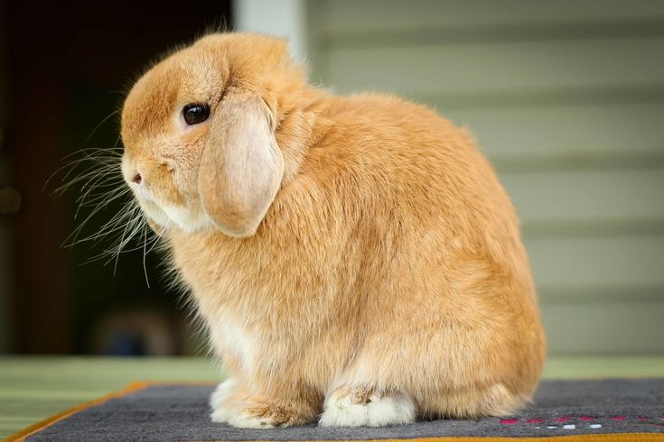 Orange buck Holland Lop from Ohio Holland Lops (Hook's Hollands)