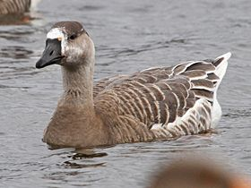 Swan Goose hybrid, Whitlingham, 5-Feb-11