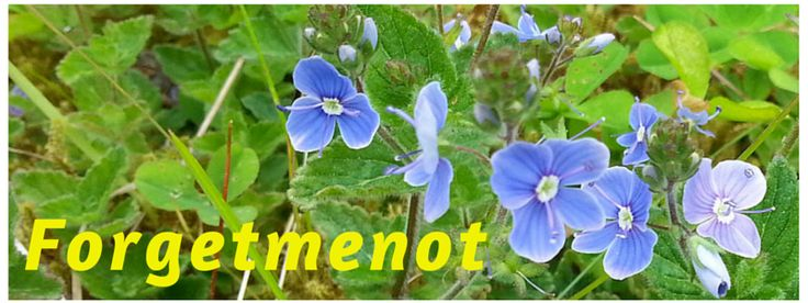 Forgetmenot Flowers and Bereavement