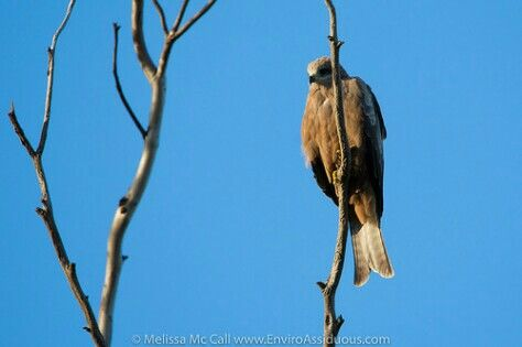 A Black Kite with a watchful eye.