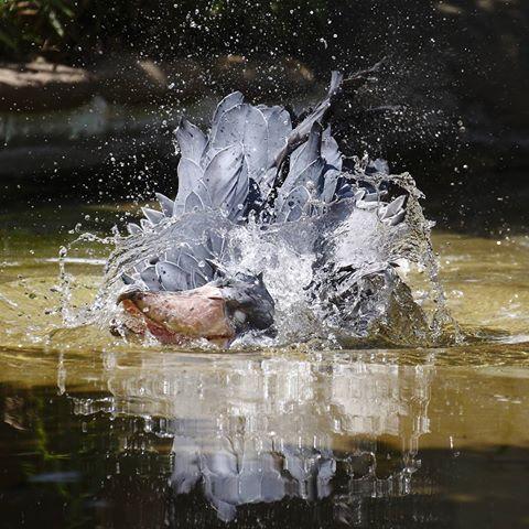 ハシビロコウの水浴び、サーナ#ハシビロコウ #shoebill  #上野動物園 #schuhschnabel