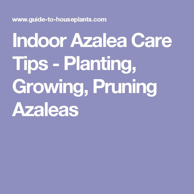 Best 20 pruning azaleas ideas on pinterest growing hydrangea care of hydrangeas and 1 allotment - Care azaleas keep years ...