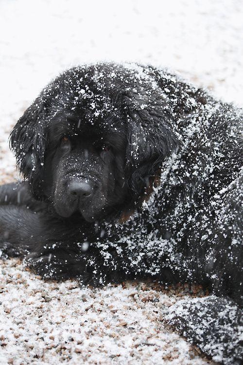 Snow-covered Newfoundland dog. Photograph by Annika Christensen.