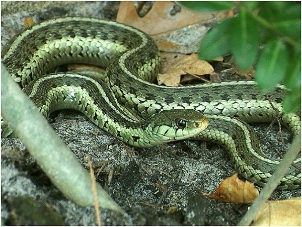 Green Garter Snake With Images Garden Snakes