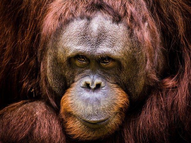 """En Argentine, un orang-outan a été reconnu comme """"personne non humaine"""". / GEO"""