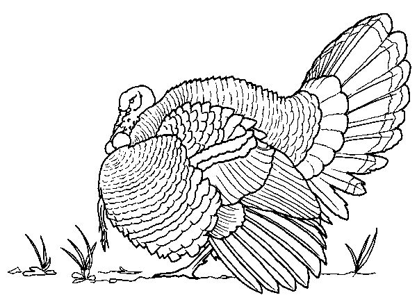 Realistic Turkey Coloring Pages Printable
