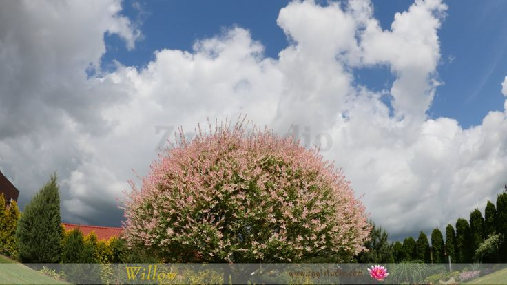 Timelapse of Blooming Willow Tree in a Backyard.
