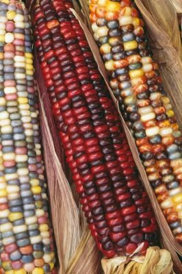 Indian corn (Zea mays), or ornamental corn, is easily recognized by the multicolored kernels on the cob. Ornamental corn, a type of flint corn once raised for human consumption, is now used for ...