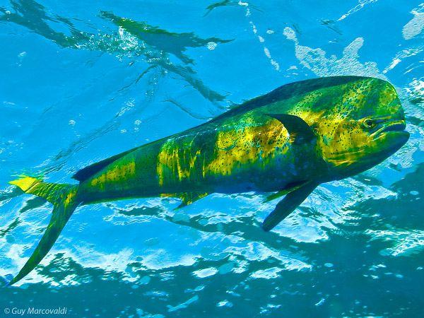 Picture For > Mahi Mahi Wallpaper Salt water fishing