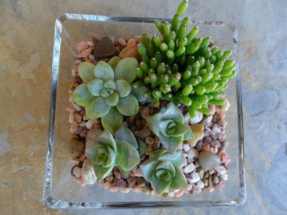 Suculenta pieza central de Terraium casa por SucculentsGalore