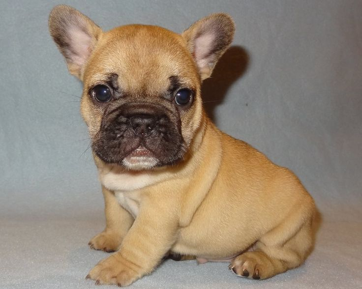 Dozer at 6 Weeks Old - French Bulldog Puppy