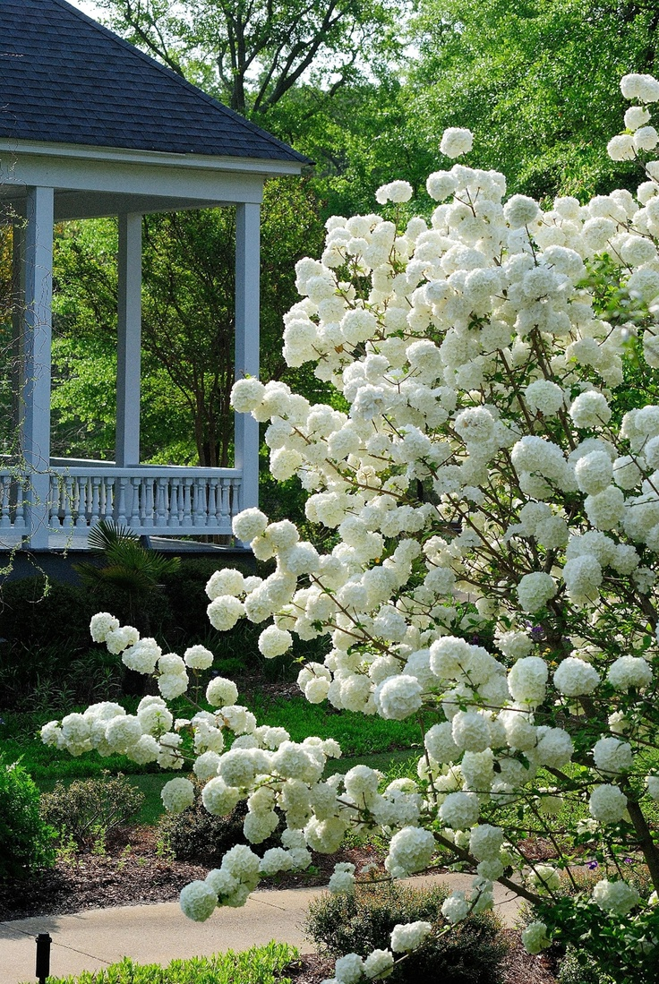The Chinese snowball viburnum has a lot going for it: Virtually no insect or disease pressures, 12-foot height, spectacular glistening white blossoms, and cut flowers by the buckets. This makes this heirloom that's strutting its stuff right now in the South an absolute winner and a must-have plant in the zone 6 to 9 gardens.  http://blogs.rep-am.com/garden/2013/05/08/welcome-to-america/