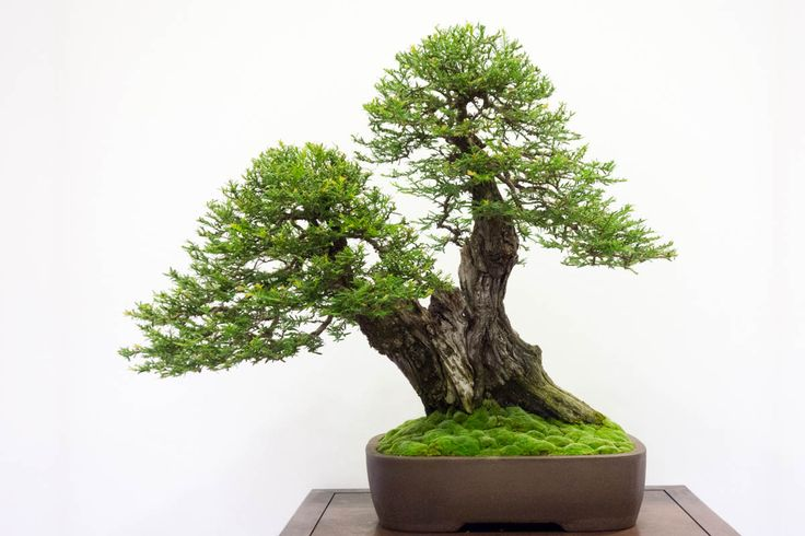 Coast Redwood (Sequoia sempervirens) Bonsai Tree.