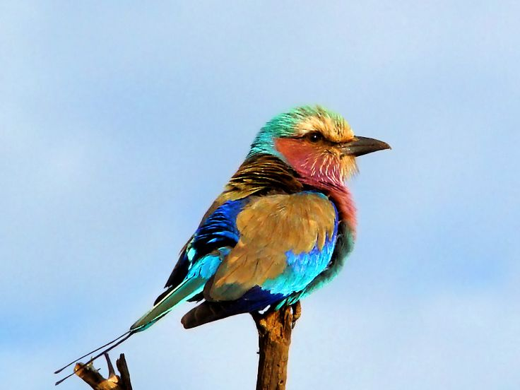 Lilac-breasted Roller of Africa