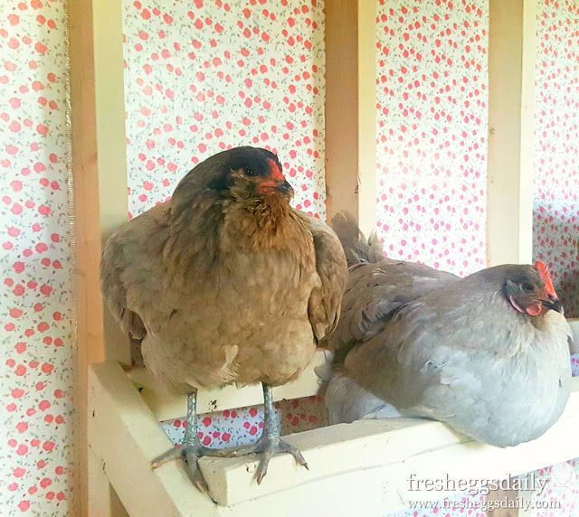 Wait, what? Your coop isn't wallpapered? Chicken Coop Decor for the Posh Flock | Fresh Eggs Daily®