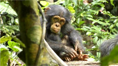 If you plan on taking the kids to Disneynature's Chimpanzee this Earth Day weekend, read this first. Also, cute chimp stuff.: Disneynatur Chimpanz, Chimp Stuff, Disneynature Chimpanzee, Kid, Chimpanz Trailers