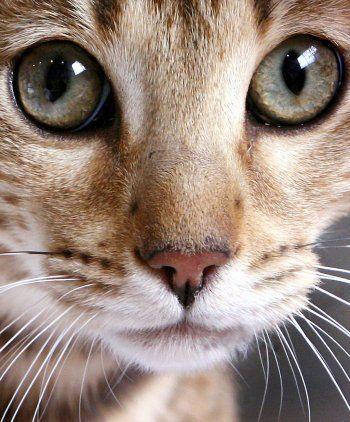 chat bengale - Recherche Google