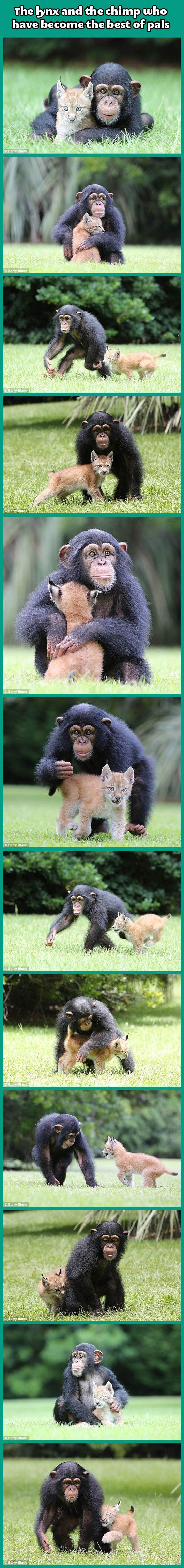 The lynx and the chimp…I don't normally pin these extra long picture combinations, but this one is just so darn CUTE!!