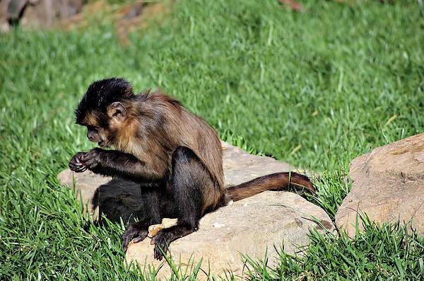 http://fineartamerica.com/featured/1-monkey-cheryl-hall.html