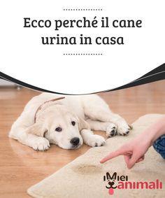 Ecco perché il cane urina in casa I motivi per i quali i #cani fanno #pipì in casa possono essere legati a varie cause. Nel seguente #articolo troverete alcuni #consigli a riguardo. #Addestramento