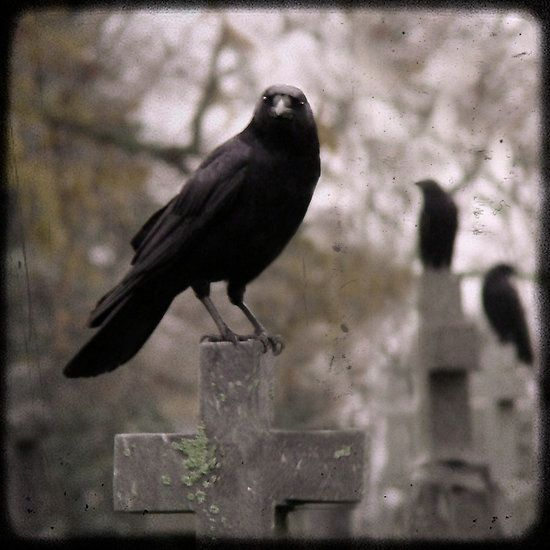 Cemetery Raven: Crows Ravens, The Crows, Art Photography, The Ravens, Art Prints, Blackbird, Black Birds, Crosses, Animal