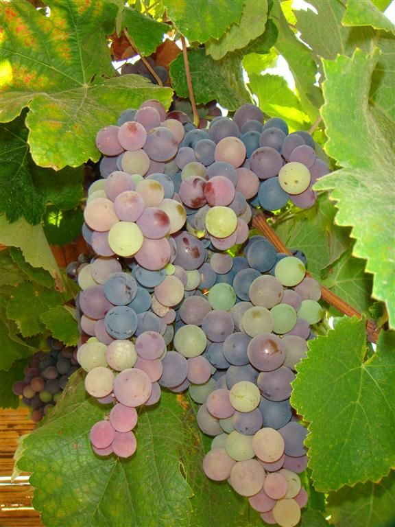 "Mollar grape. It is a non-aromatic variety with a bright red copper color. It is generally produced in small quantities and often found growing in the shade of Quebranta grape plants.  Origin: The Canary Islands, Spain  Name Origin: The Mollar grape, which can be white or red, derives its  name from the way it is grown and shaped. A stick from the ""molle""  plant (which produces either Aguaribay or peppers), is planted as  a tutor, or a plant for the Mollar grape to graft onto."