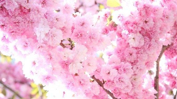Erik Ağacı Çiçekleri #wallpaper #ilkbahar #spring #flowers #cicek