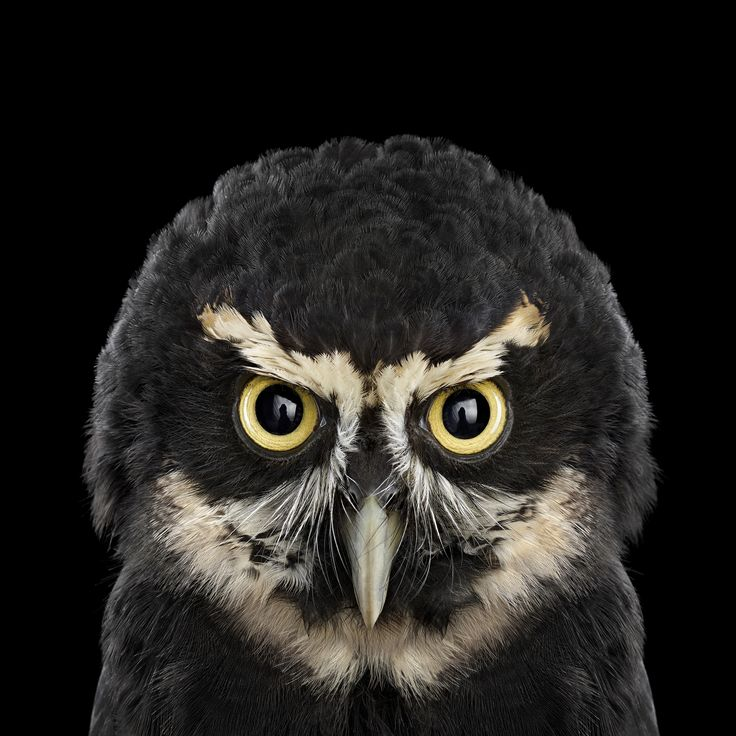 Brad Wilson http://www.audubon.org/magazine/january-february-2015/whos-who Spectacled Owl  Size: 18 inches tall; 1-2 pounds  Range: Mexico and Central America to the northern two-thirds of South America    The Spectacled Owl has little to fear from predators, rainforests and gallery woods,  It eats almost anything;  one slaughtered a three-toed sloth,