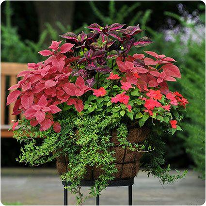 Redhead coleus planter