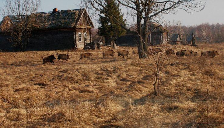 En imágenes: la vida salvaje ha vuelto a Chernobyl | VICE | Colombia