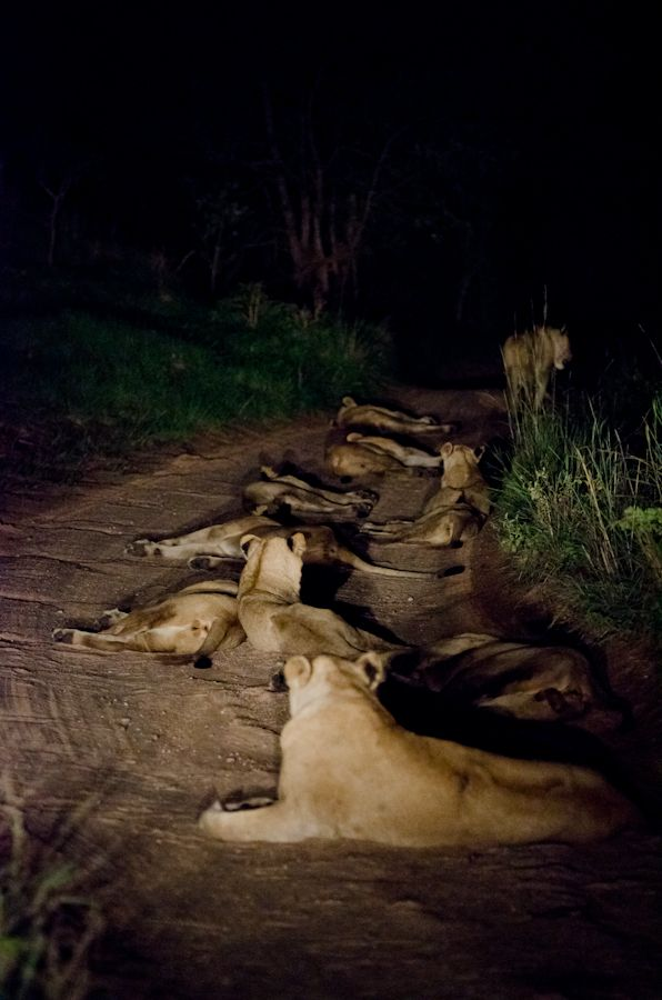 the Southern pride sets up a roadblock at Sabi Sabi Private Game Reserve, South Africa. #travel #Africa #lions