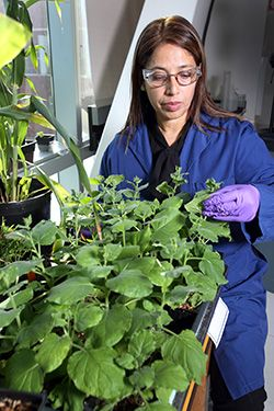 A Sandia National Laboratories-led team has demonstrated faster, more efficient ways to turn discarded plant matter into chemicals worth billions. The team's findings could help transform the economics of making fuels and other products from domestically grown renewable sources. Lignin, the t...