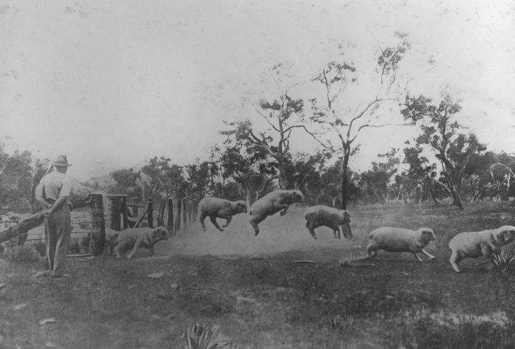 1928: Zegna Australian wool farmers herding sheep. Vintage photograph.