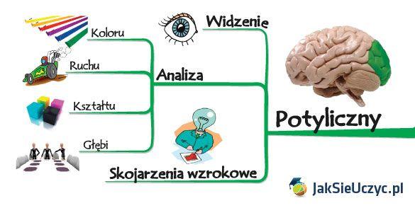 mózg płat potyliczny