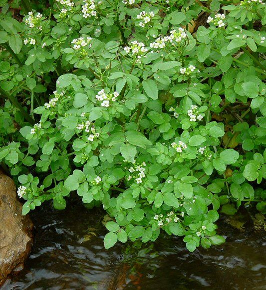 Research supports traditional views that watercress has medicinal applications. Herbalist use it as a stimulant and diuretic, research suggests it has antioxidants, the ability to lower some blood lipids, and to prevent or treat cancer, particularly that of the lungs.