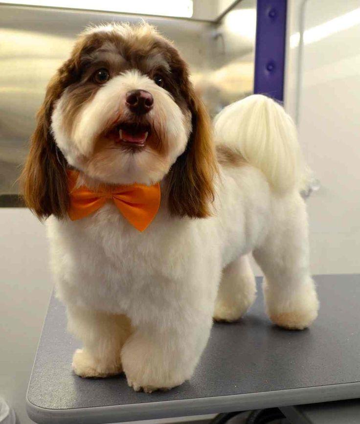 Havanese Dog Grooming Styles