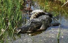 Image result for Alligator Hunting